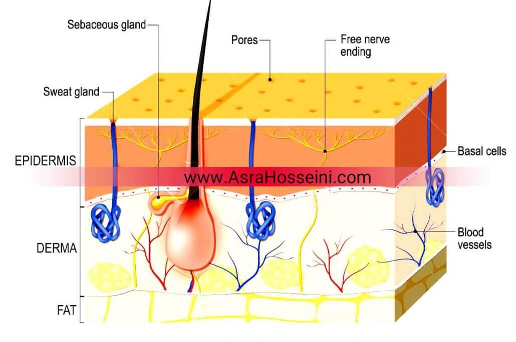 لایه های پوست